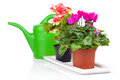 Plant in flowerpot and green watering can isolated on white Royalty Free Stock Photography