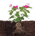 Plant with flowers and visible root Royalty Free Stock Photo