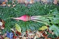 Plant fodder beet Royalty Free Stock Photo