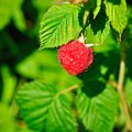 Plant of framboise Stock Images