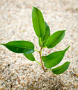 Plant grows from sand young Royalty Free Stock Photo