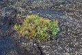 Plant grows on volcanic soil in lanzarote island Stock Photo