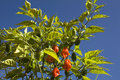 Plant of Habanero peppers Royalty Free Stock Photos