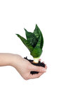 Plant in a hand Royalty Free Stock Images