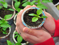 Plant in hands growing vegetable home agriculture Stock Photography