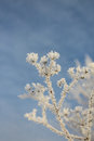 Plant in hoarfrost against the sky Royalty Free Stock Photo