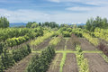 Plant nursery rows of young trees at a in montana Royalty Free Stock Images