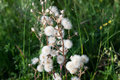 Plant With Parachutes Like Dandelion (Cupid's Shaving Brush)