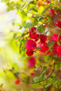 Plant of pink flowers bougainvillea glabra Stock Images