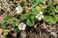 Plant portrait barren strawberry potentilla sterilis on a hedge bank Stock Photography