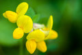 Plant portrait bird's-foot trefoil Royalty Free Stock Photo