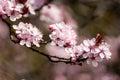 Plant portrait cherry blossom Royalty Free Stock Photo