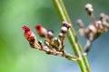 Plant portrait common sorrel seeds
