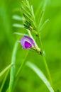 Plant portrait common vetch
