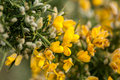 Plant portrait gorse Royalty Free Stock Photo