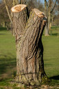 Plant portrait heavily managed willow trees salix lopped on a local golf course Royalty Free Stock Photography