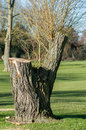 Plant portrait heavily managed willow trees salix lopped on a local golf course Stock Image