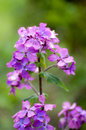 Plant portrait honesty lunaria annua flowering on waste ground Royalty Free Stock Image