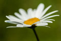 Plant portrait oxeye daisy Royalty Free Stock Photo