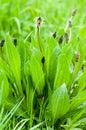 Plant portrait ribwort plantain