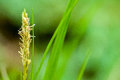 Plant portrait sedge carex flowering in an ancient woodland Royalty Free Stock Image