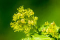 Plant portrait sycamore flower acer pseudoplatanus flowers in spring sun Stock Photo