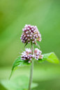 Plant portrait water mint Royalty Free Stock Photo