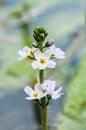Plant portrait of water violet