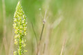 Plant portrait weld of reseda luteola growing on a chalk waste ground Stock Photography