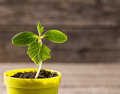 Plant in pot on wooden background young Royalty Free Stock Photo