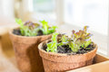 Plant pots with salad Royalty Free Stock Photo