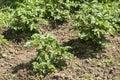 Plant propagation of potatoes Royalty Free Stock Photo