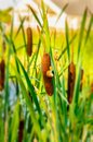Plant bulrush against the sunset and beautiful orange blue sky Royalty Free Stock Photo