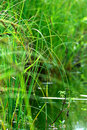 Plant reeds water Royalty Free Stock Photos