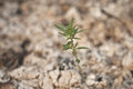 Plant rising from ashes seedling surrounded by shallow depth of field Stock Images