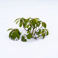 Plant in snow covered rhododendron Royalty Free Stock Photo
