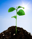 Plant in soil Royalty Free Stock Photo