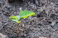 Plant sprout growing on plentiful soil close up Royalty Free Stock Photography