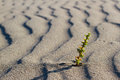 Plant sprouting in the desert in Sahara. Sprout in Royalty Free Stock Photo