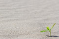 Plant sprouting in the desert . Sprout in the Royalty Free Stock Photo