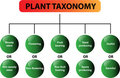 Plant taxonomy diagram - vector Royalty Free Stock Photography