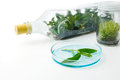 Plant tissue culture in bottle in the laboratory on white background Royalty Free Stock Photo