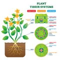 Plant Tissue Systems vector illustration. Labeled biology structure scheme. Royalty Free Stock Photo