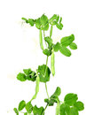 Plant is a vegetable of peas Royalty Free Stock Photo