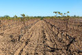 Plant vines agriculture planting in a newly plowed land Stock Photography