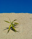 Plant wild lonely on a dry sandy soil saharen Royalty Free Stock Images