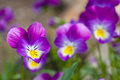 Plant of  wild violet Royalty Free Stock Photo