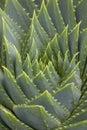 Planta de Aloë Vera Foto de Stock Royalty Free