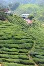 Plantación de té Fotografía de archivo