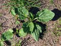 Plantain medicinal plant grow on the footpath Royalty Free Stock Photo